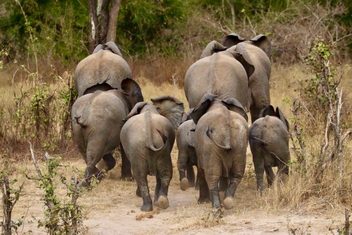 Elephant herd running away Zimbabwe 29-09-2017
