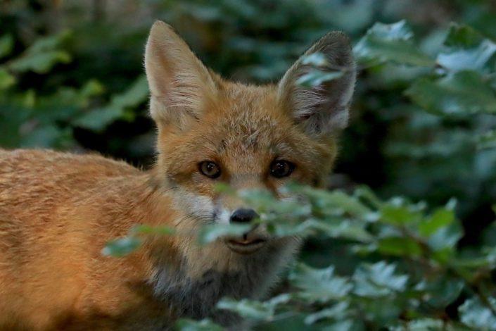 Fox cub Kopstal July 2017