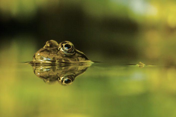 Frog reflexion pond near Innsbruck 23-06-2016