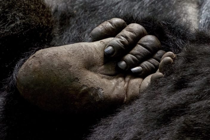 Gorilla hand holding foot Virunga Mountains March 2016
