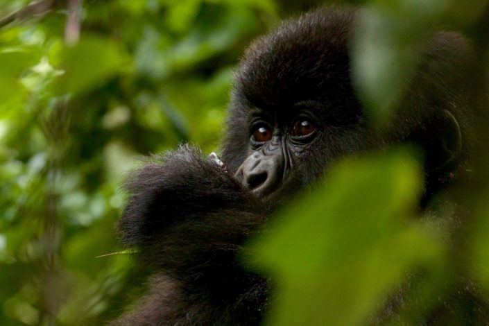 Gorilla in a tree Virunga Mountains March 2016