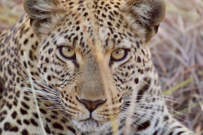 Leopard Okavango Delta 05-08-2016