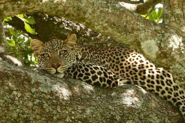Leopard resting in a tree in the Serengeti 28-01-2014