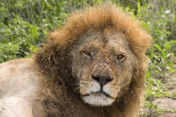 Lion after feeding Serengeti January 2014