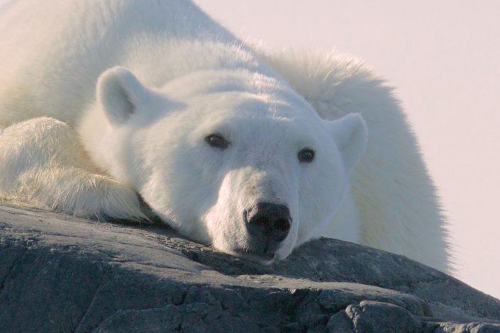 Polar bear Svalbard August 2015