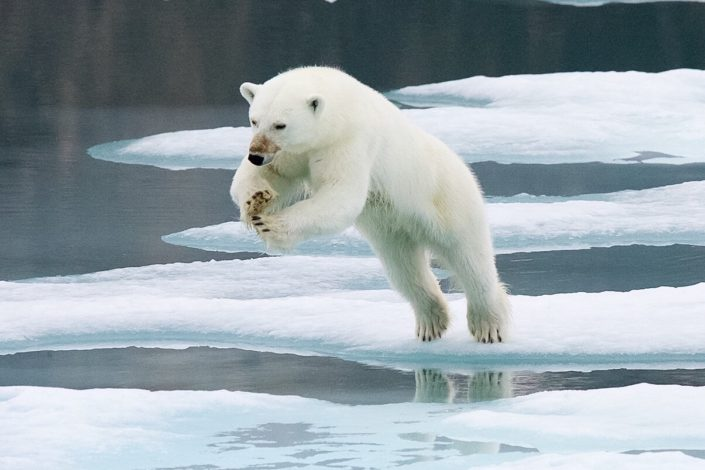 Polar bear jumping Svalbard August 2015