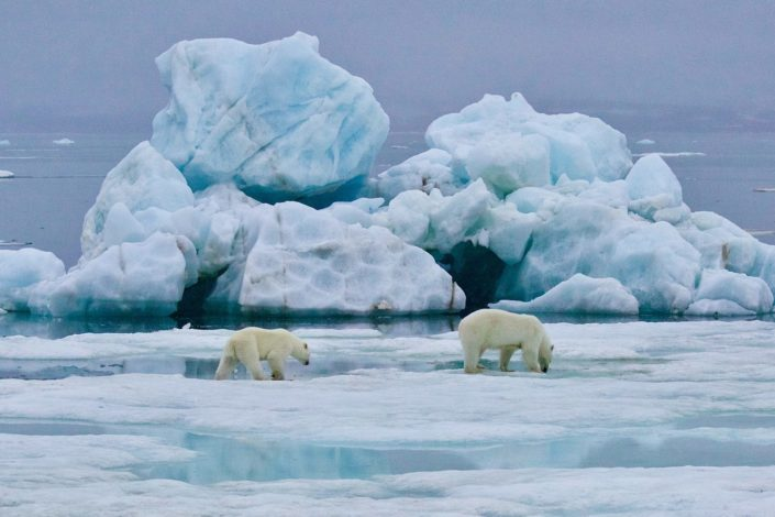 Polar bears (mother and cub) Svalbard August 2015