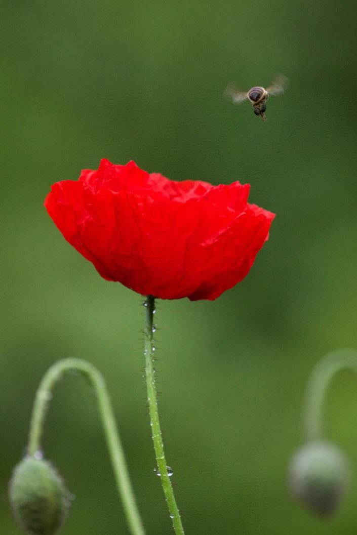 Poppy with bee