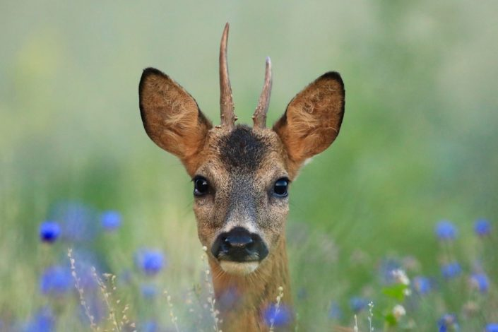 Reindeer buck Kehlen July 2017