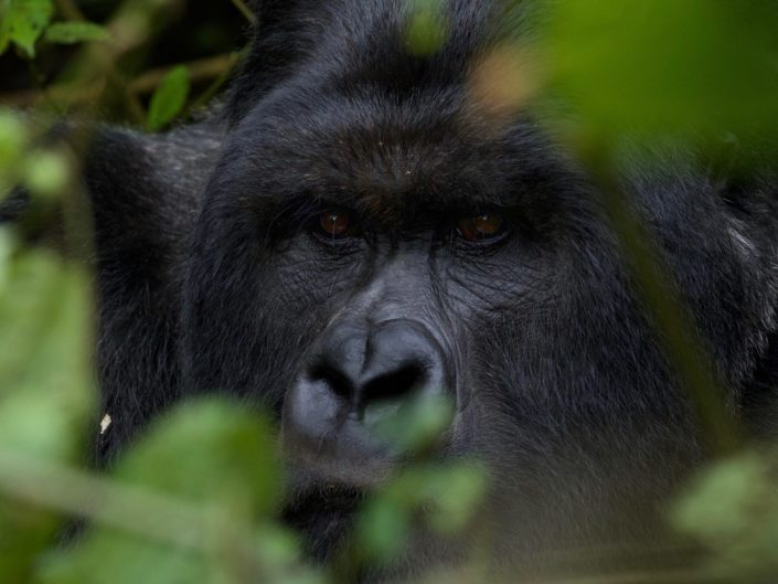 Silverback Virunga Mountains March 2015
