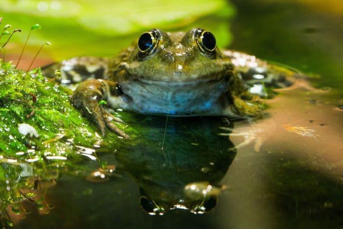 Waterfrog pond near Innsbruck May 2016