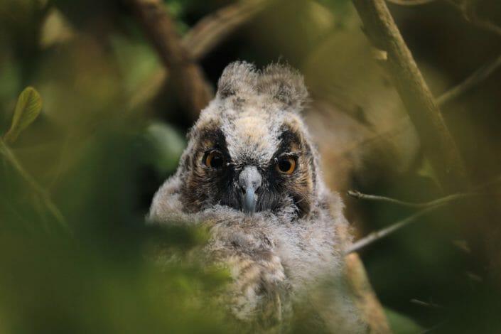Young Long-eared owl Kopstal May 2107